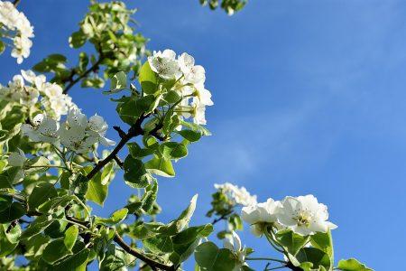 Frühlingsblüten vor herzblauem Frühlingshimmel (Foto: Martin Dühning)
