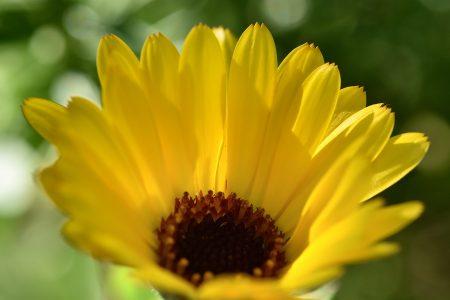 Die Ringelblumen blühten in der Regenwoche auf und verstrahlen nun Sonnenblicke (Foto: Martin Dühning).