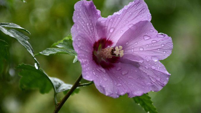 Regenbeperlte Hibiskusblüte im August (Foto: Martin Dühning)