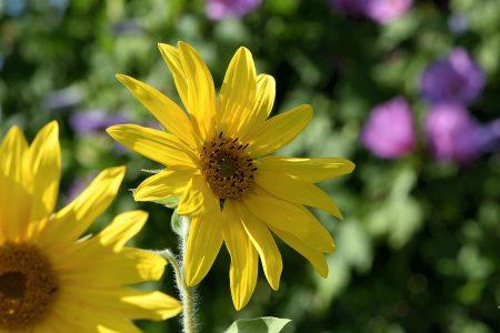 Viel Mühe kostete es und zwei Kilogramm Saatgut, um dieses Jahr an Sonnenblumen zu kommen. Trotz täglichen Gießens sind sie nur sehr klein geworden. Gut, dass es ein Makroobjektiv gibt (Foto: Martin Dühning).