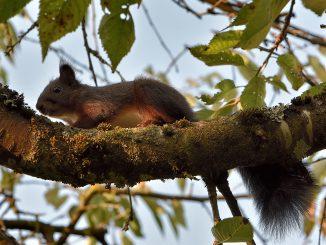 Zu den Glücksfunden im August 2017 zählt dieses Kirschbaumeichhörnchen (Foto: Martin Dühning).