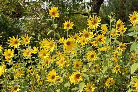 Die Sonnenblumen blühen inzwischen in großer Zahl (Foto: Martin Dühning).