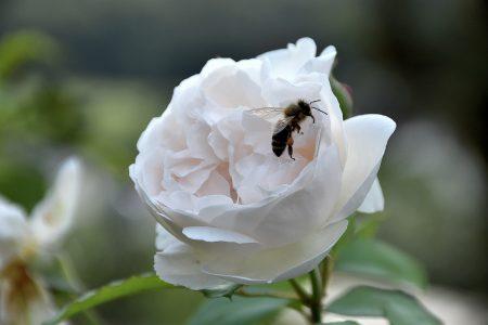 Bienen gibt es jetzt auch wieder im Niarts-Garten (Foto: Martin Dühning).