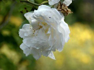 Die englischen Rosen sind wieder auferstanden - und blühen nun endlich in alter Pracht (Foto: Martin Dühning).