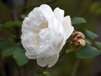 Die Ros' ist ohn warumb, sie blühet, weil sie blühet... (Foto: Martin Dühning)