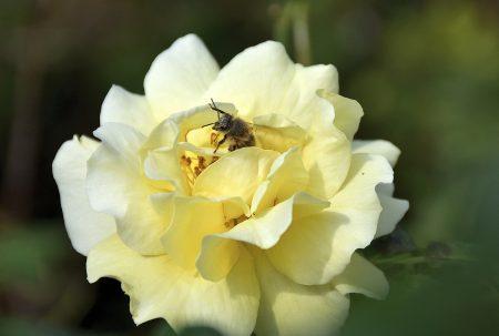 Goldene Rosen gibt es auch wieder (Foto: Martin Dühning).