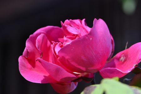 Auch Opas alte Rose blüht noch einmal (Foto: Martin Dühning).