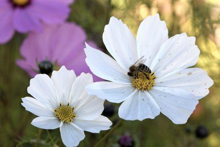 Weiße Cosmea mit Honigbienchen (Foto: Martin Dühning).