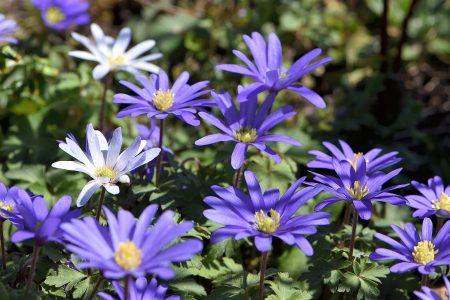 Blau blühen die Anemonen im heimischen Garten (Foto: Martin Dühning)