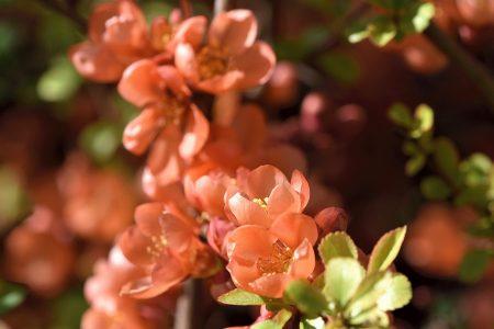 Zartrose prunkt die japanische Zierquittenblüte (Foto: Martin Dühning)
