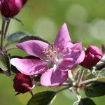 Apfelblüten im Garten