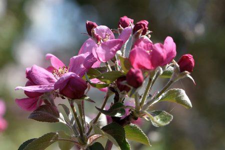 ... rotpurpur - die kleinen Rotapfelblüten (Foto: Martin Dühning)