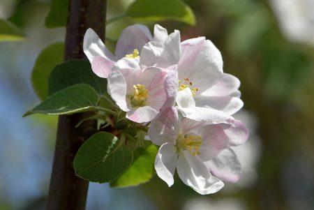 Apfelblüten blühen in weißrosa und ... (Foto: Martin Dühning)