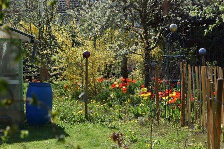 Der Garten ist ein Meer von Tulpen und Löwenzahn (Foto: Martin Dühning)