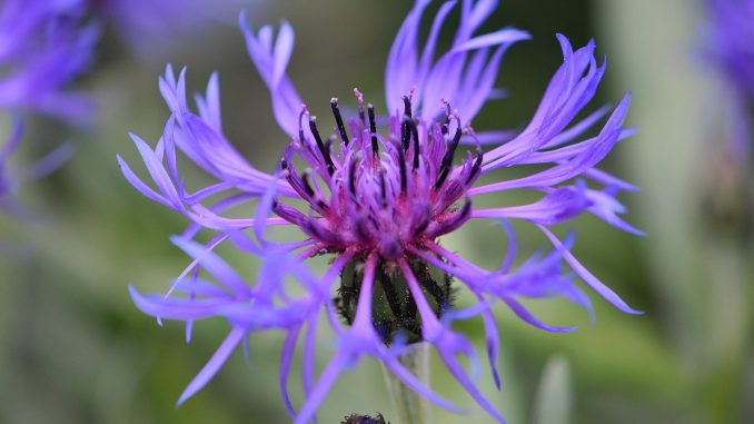 Blaue Berg-Flockenblume im Mai 2018 (Foto: Martin Dühning)