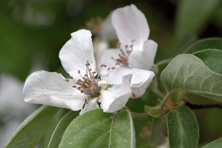 Viele, viele Quittenblüten lassen auf eine Ernte hoffen (Foto: Martin Dühning)
