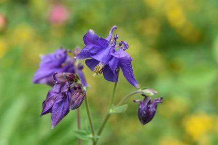 Blau blüht dagegen auch die Akelei (Foto: Martin Dühning)
