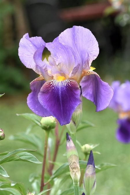 Eine Prunkvolle Iris im Garten (Foto: Martin Dühning)