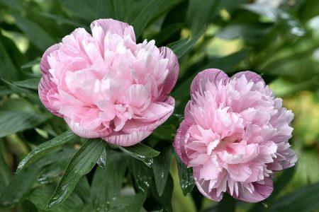 Pfingstrosenblüten in Altrosa (Foto: Martin Dühning)