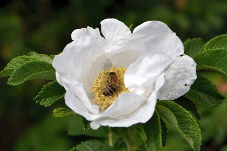 Ein Honigbienchen nascht aus einer weißen Wildrose (Foto: Martin Dühning).