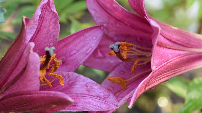 Rot blühen zwei kleine Baumlilien im Gartenbeet (Foto: Martin Dühning)