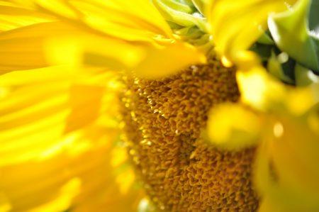 Inner Light: Sonnenblume von innen (Foto: Martin Dühning)