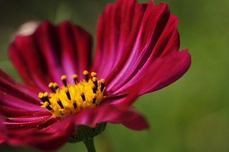 Purpurne Cosmeenblüte (Foto: Martin Dühning).