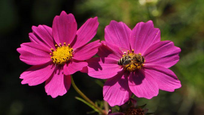 Bienchen bei der Arbeit auf Purpurcosmeen (Foto: Martin Dühning)