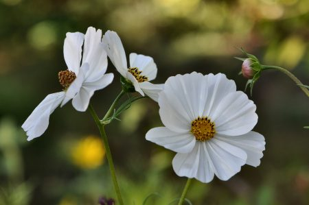 Weiße Cosmea (Foto: Martin Dühning)