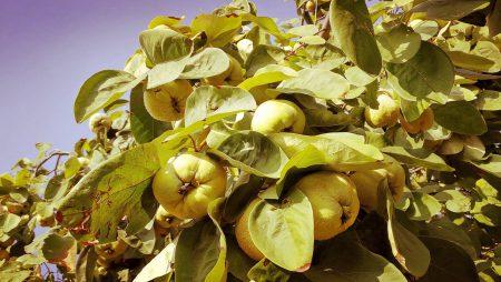 Ein Baum voller goldener Quitten (Foto: Martin Dühning)