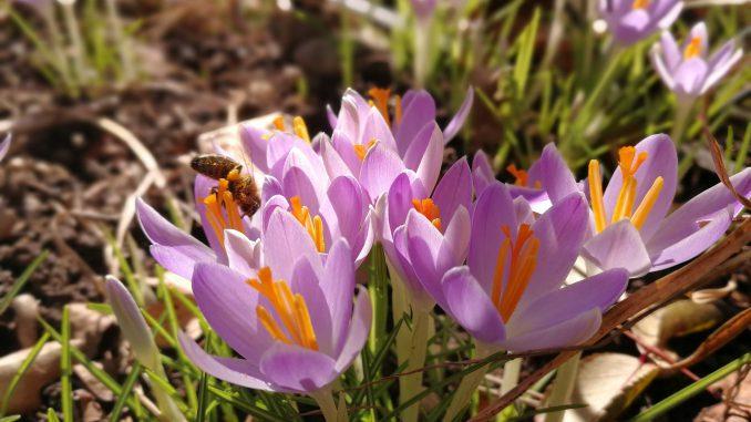 Im Februar 2019 waren auch schon wieder einige Honigbienchen aktiv (Foto: Martin Dühning).