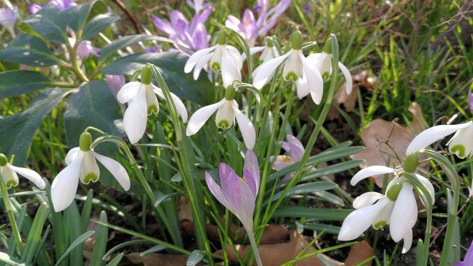 Im Februar 2019 blühen Schneeglöckchen und Krokusse (Foto: Martin Dühning)