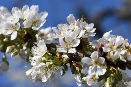 Schneeweiße Kirschblüten vor tiefblauem Frühlingshimmel (Foto: Martin Dühning)