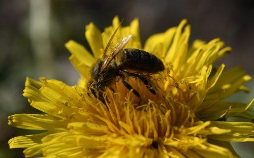 Biene auf Dandelion (Foto: Martin Dühning)