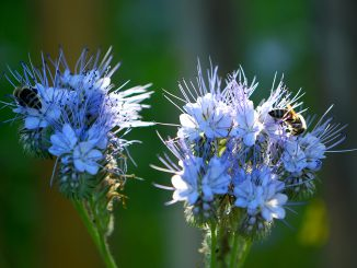 Bienchen weiden auf Phaceliablüten (Foto: Martin Dühning)