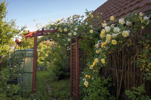Der neue Rosenbogen im heimischen Garten ist schon halb zugewuchert (Foto: Martin Dühning)