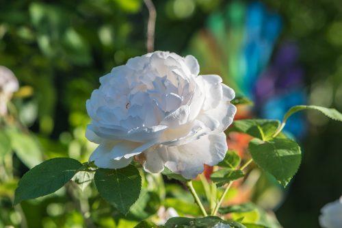 Weiße Rose (Foto: Martin Dühning)