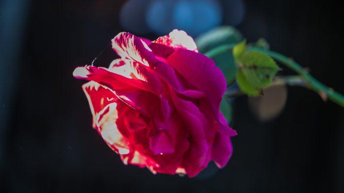 Opas Rote Rose im Abendlich an Trinitatis 2019 vor meines Urgroßvaters Holzschuppen (Foto: Martin Dühning)