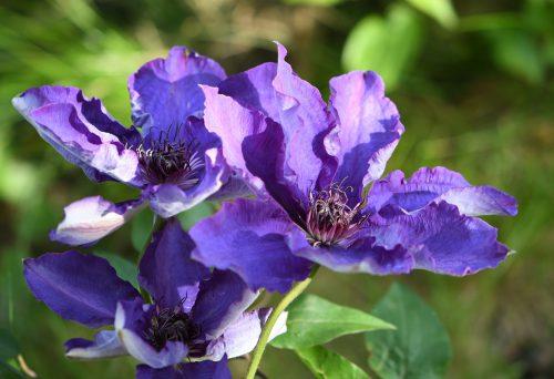 Unglaublich blau blühende Clematis im Mai 2019 (Foto: Martin Dühning)