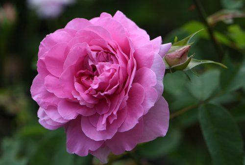 Rosarote Prunkrose (Foto: Martin Dühning)