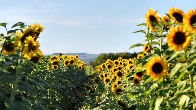 Sonnenblumen im August (Foto: Martin Dühning)