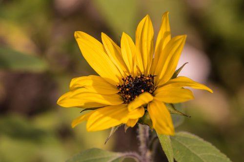 Sonnenblümchen im heimischen Garten 2019 (Foto: Martin Dühning)