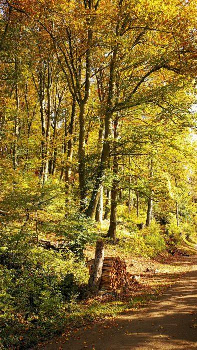 Goldener Herbstwald am Radweg bei Waldshut (Foto: Martin Dühning)