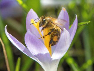 Honigbienchen labt sich an Krokusblüte (Foto: Martin Dühning)