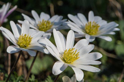 Anemonen in zartem Weiß (Foto: Martin Dühning)