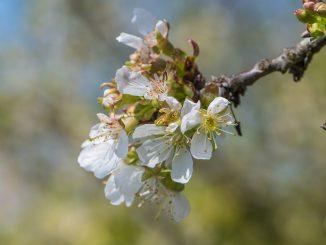Kirschblüten im April des Jahres 2020 (Foto: Martin Dühning)