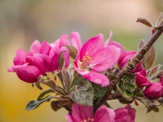 Rote Apfelblüten 2020 (Foto: Martin Dühning)