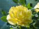 Eine sonnige Rosenblüte am 20. Mai 2020 (Foto: Martin Dühning)