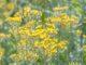 Goldene Blüten von Helichrysum Italicum (Foto: Martin Dühning)