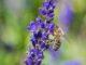 Bienchen mit Lavendel im Juni 2020 (Foto: Martin Dühning)